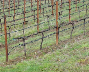 Vines after pruning