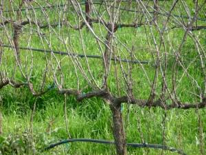 vine-before1