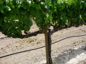 carneros Pinot grapes
