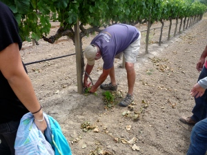 Steve Beresini making wine