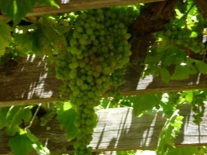 grapecluster