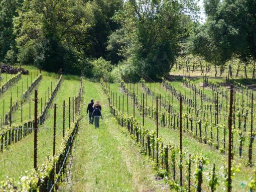 spring in russian river valley vineyard