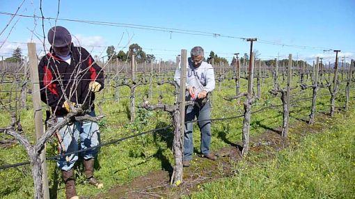 pruning Beresini
