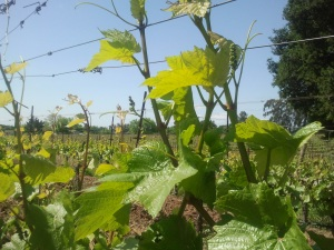 Vines growing in carneros