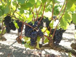 Beresini Pinot 09/08/12